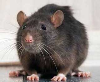 Rodent Control Services in Karachi